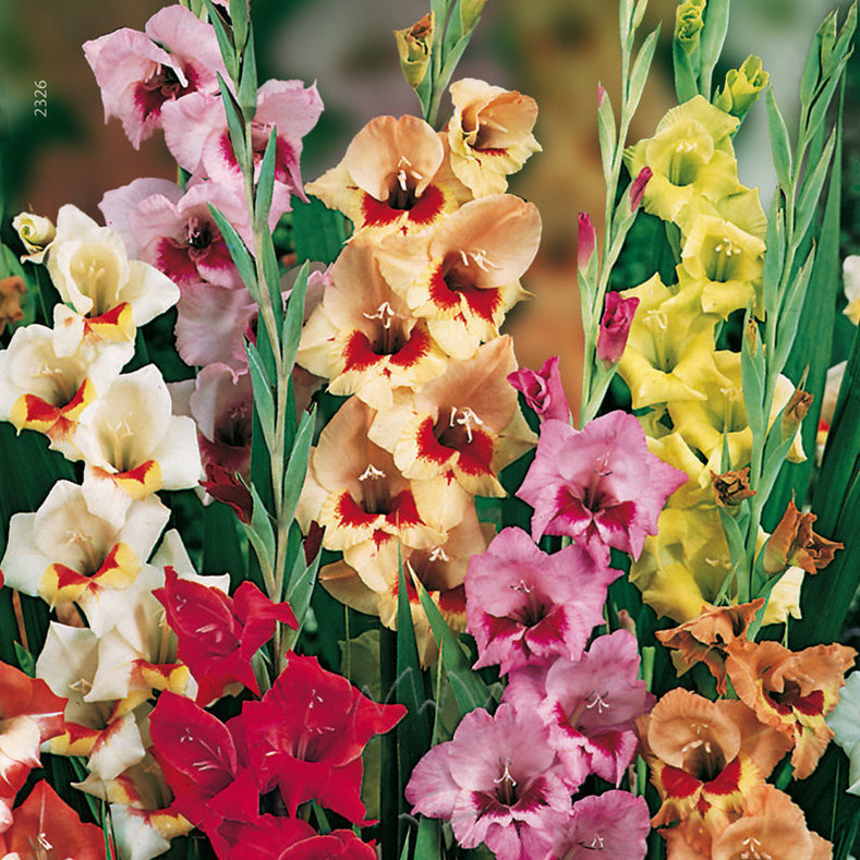 Kleurige collectie Gladiolen.