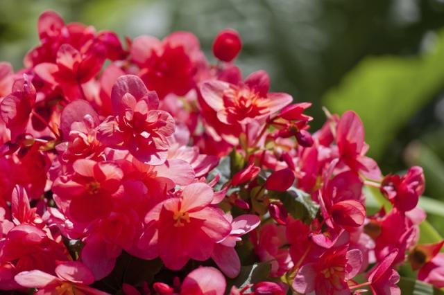 Begonia Çottage