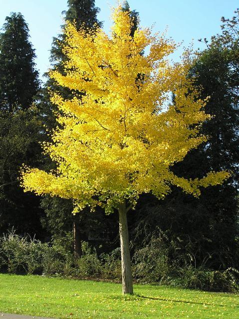 Een volwassen Gingko boom.