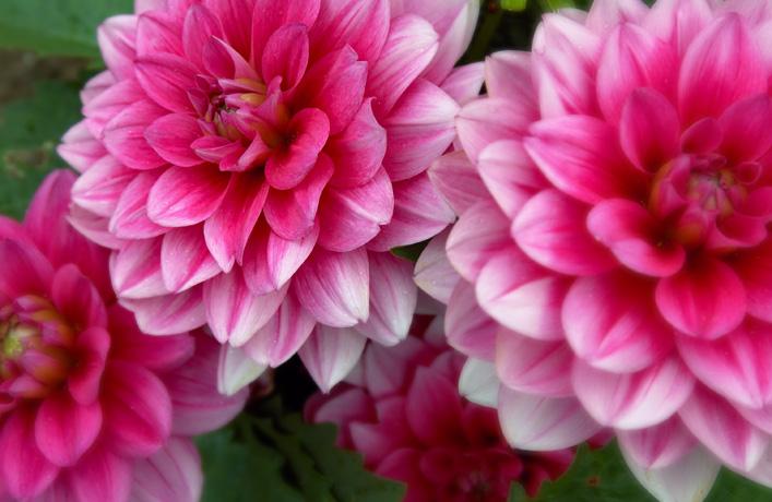 Dahlia is verkrijgbaar in veel kleuren,lengtes en bloem-soort.