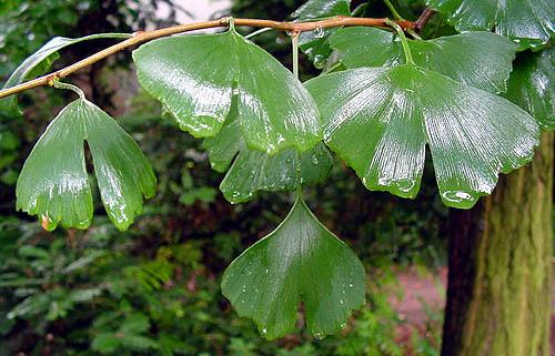leavesrain
