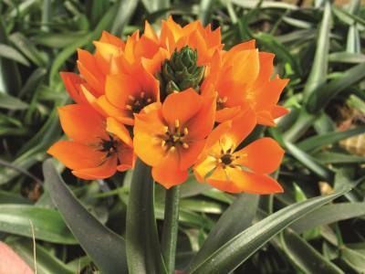 Ornitogalum ( Zuiderwindlelie) Orange Star.