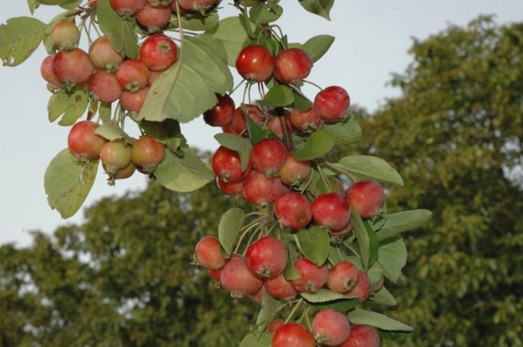 Sier appelboom Malus Red Sentinel