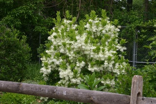 Spring-Fringe-Tree-Chionanthus-virginicus2