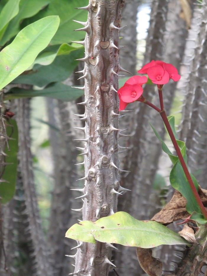 Euphorbia Apache