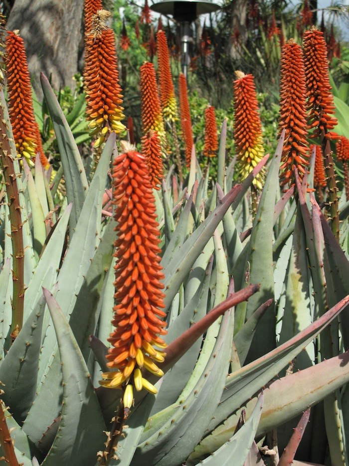 Janet-Hall-Huntington-Desert-Garden-flowering-Aloe-Aculeata