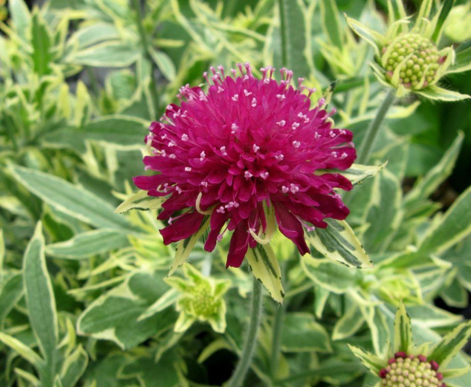 Knautia 'Thunder and Lightning' - contemporary - landscape - Skagit Gardens 1