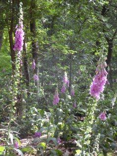 Vingerhoedskruid hoort bij een bos.