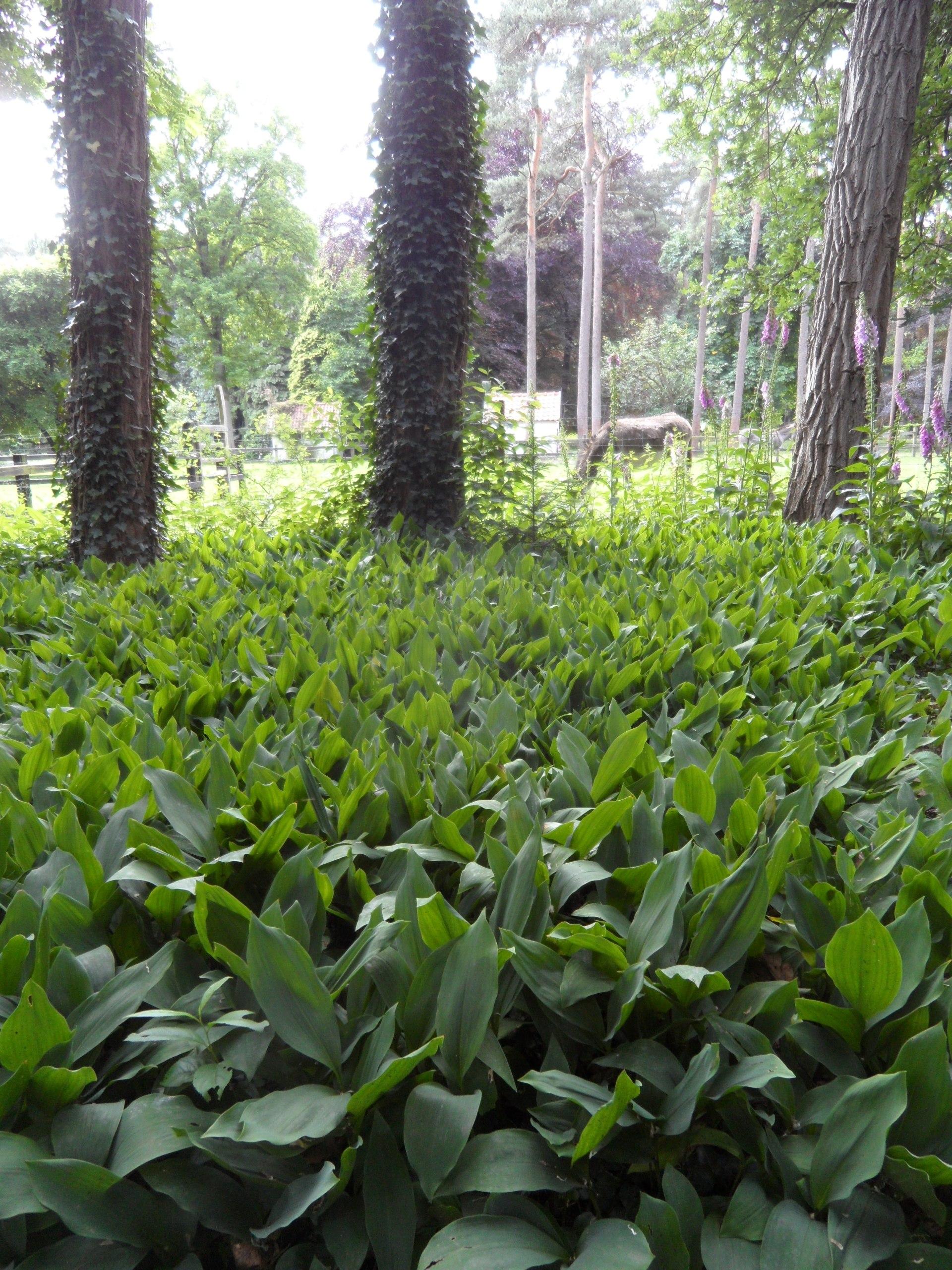 Wat een kleur en geur sensatie moet dit zijn in mei,een massief van Covalaria majalis - Lelie der dalen.