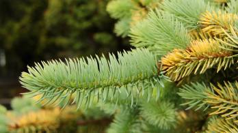 Picea pugens 'Wisconsin Cream'
