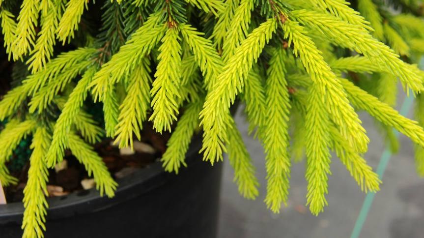 Picea orientalis 'Lemon Spreader'