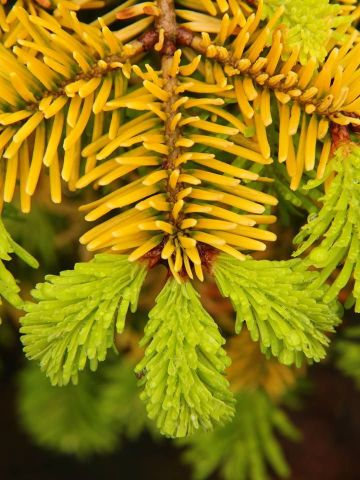 Abies nordmannia 'Golden Spreader'