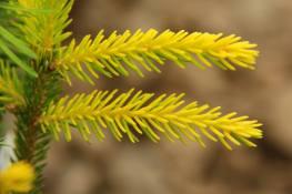 "Picea orientalis ""sunrise'"