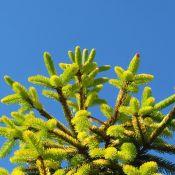 Picea abies'Aurea Jakobsen'