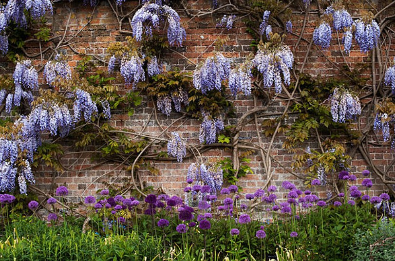 Wisteria 'burford' flowers and allium flowerbed at Waterperry Gardens, Oxfordshire, England. Image shot 2009. Exact date unknown.