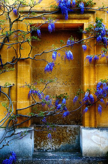 Wisteria in Flower Growing on a Yellow Wall