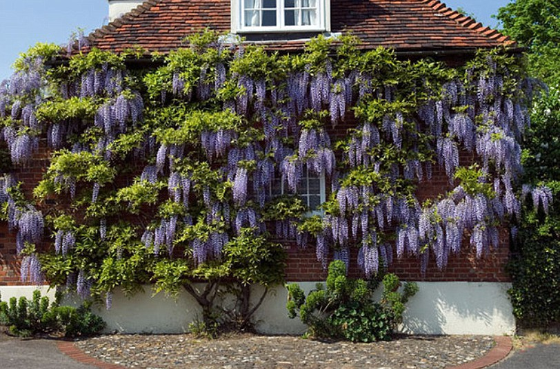 WISTERIA also spelt Wistaria ON SIDE OF HOUSE IN SAFFRON WALDEN ESSEX ENGLAND
