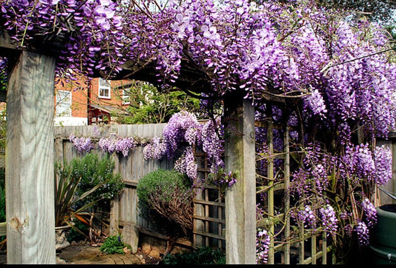 Wisteria in full bloom in spring in English city garden. Image shot 2007. Exact date unknown.