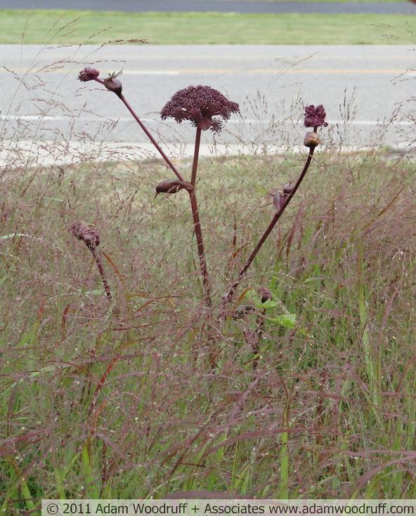 Angelica gigas, Panicum virgatum 'Shenandoah