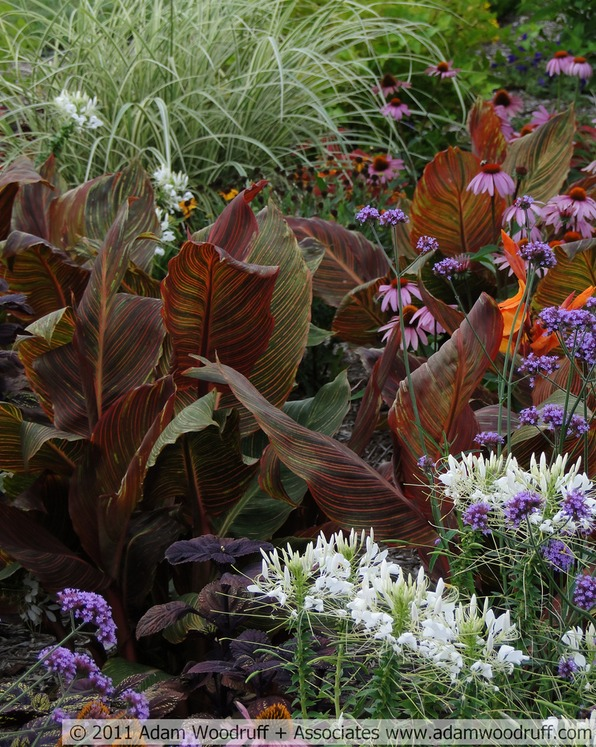 Canna lily (Canna x generalis 'Phaison') adds depth to this planting of ornamental grass, coneflowers and annuals.