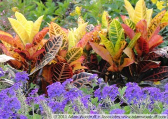 Colorful croton (Codiaeum variegatum 'Petra') with Homestead purple verbena (Verbena canadensis 'Homestead Purple').