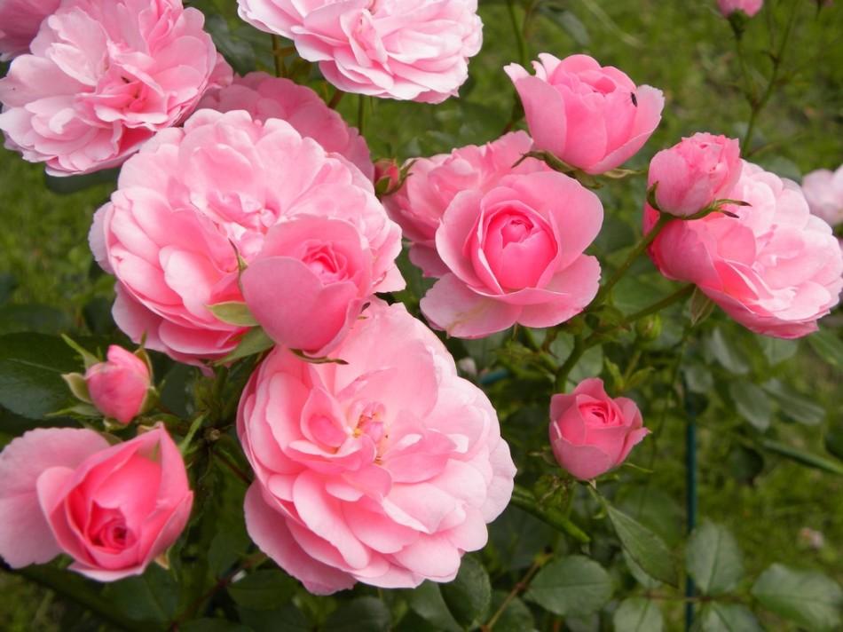 12-07-Abundance-of-pink-roses
