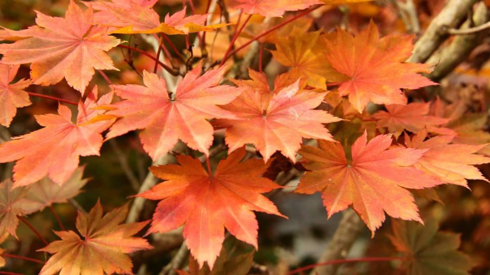 Acer shirasawanum 'Ogura yama