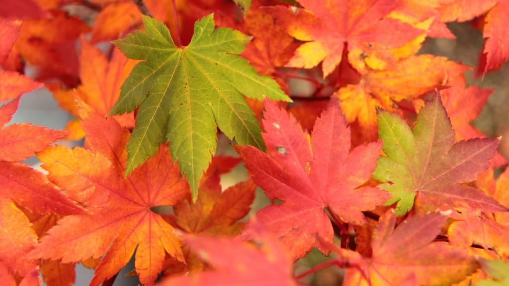 Acer palmatum 'Autumn Fire'