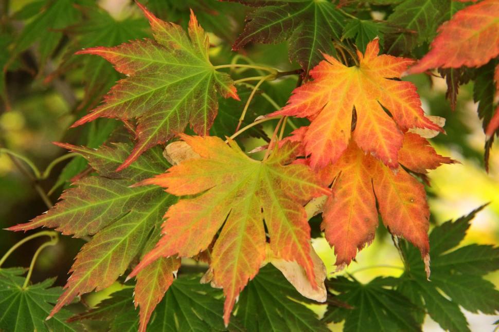 Acer palmatum 'Mirte'
