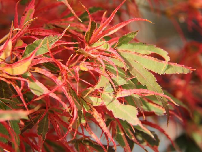 Acer palmatum 'Manyo no sato'