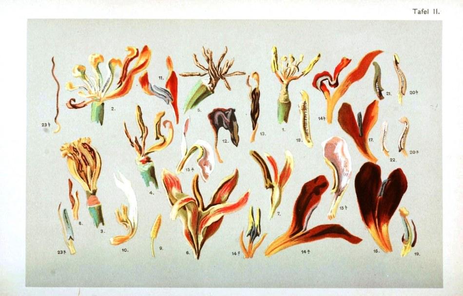 Botanical - Flower - Tulip , anatomy 2