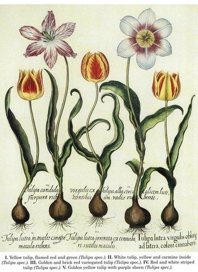 Botanical_Tulip_by_HauntingVisionsStock