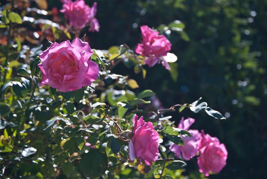 pink-roses-in-the-garden-elya-rafikova
