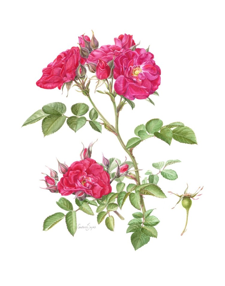 Rosa 'Linda Campbell'_Connie Sayas_Buzz