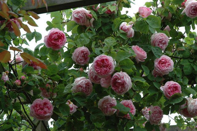 rosa_constance_spry_2008