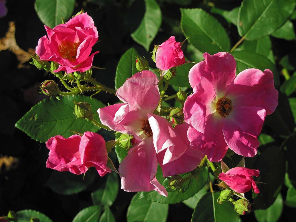 springfield_garden_pink_heritage_rose_img_0284