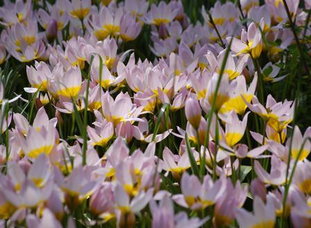 Dit soort komt oorspronkelijk uit Kreta en heeft grote bloemen, getint met een warm paars. De meest geteelde selectie is bekend als 'Lilac Wonder'.