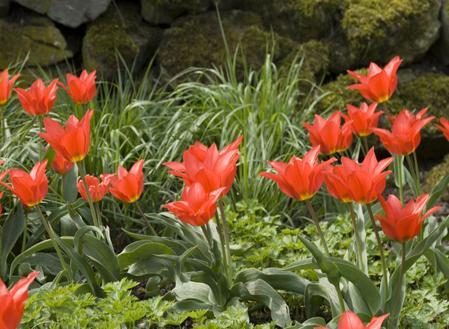 De mooie kleuren van deze tulp en het feit dat de plant makkelijk te verwilderen zijn maakt ze tot een goede keus voor in een rotstuin.