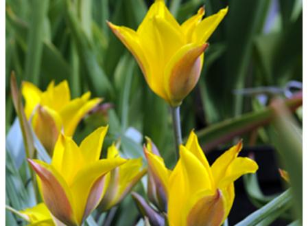 Dit soort uit Centraal Azië en China heeft smalle gele bloemen. Elk van de 1 tot 3 bloemen op de stengel heeft een rode plek omcirkeld door een groene gloed. De bladeren zijn puntig.