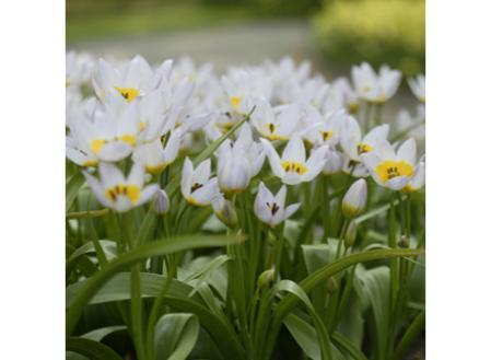 Deze zwak gevormde bloemen zijn zacht lila-roze met een geel hart. Langzaam ontstaan in de bergachtige bodem van het eiland Kreta, zullen deze planten geen overmatig water tolereren. De bloemen openen zich wijd gedurende de zonnige uren.