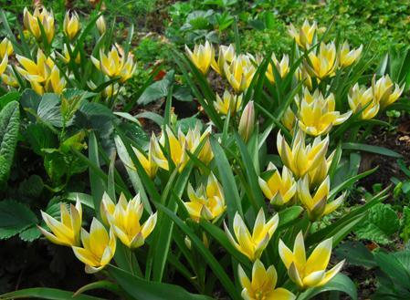 Dit is veruit het meest belangrijke, echt botanische soort. De zes stervormige bloemen – geel met een witte punt - zijn dicht bij elkaar geclusterd. Na de bloem, ontwikkelen ze hele mooie zaaddozen. Tulp tarda zou in elke tuin moeten staan. De tulp verwildert makkelijk.