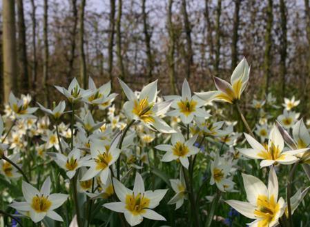 Deze tulp is genoemd naar zijn vindplaats, Turkije. De plant is favoriet vanwege zijn vroege bloeiperiode (Februari – Maart). Elke knol krijgt 12 witte bloemen een fel geel centrum. De bladeren zijn grijsgroen. Deze tulp verwildert makkelijk.