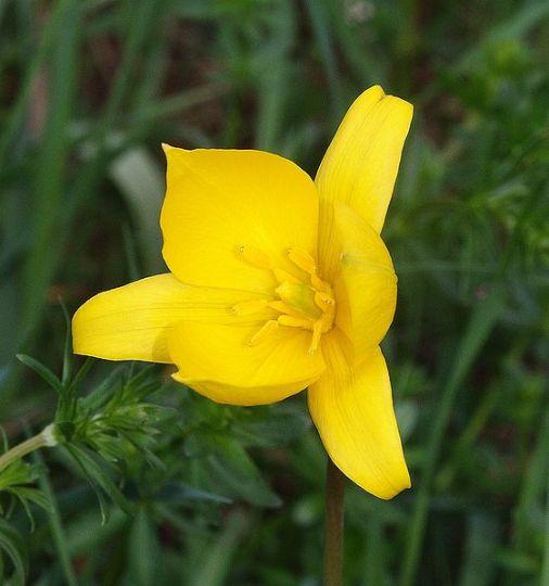 Tulipa sylvestris (Bostulp)