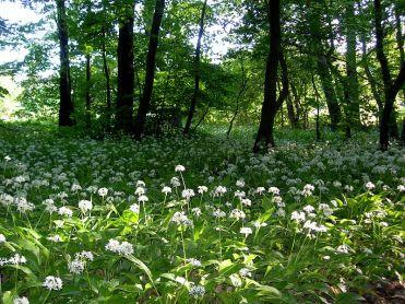 Allium ursinum (Daslook)