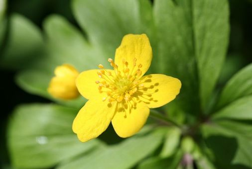 Anemone ranunculoides (Gele Anemoon)
