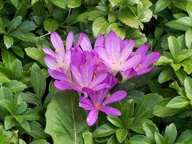 Colchicum autumnale (herfststijlloos)