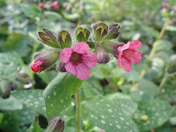 Pulmonaria officnalis (Gevlekt longkruid)