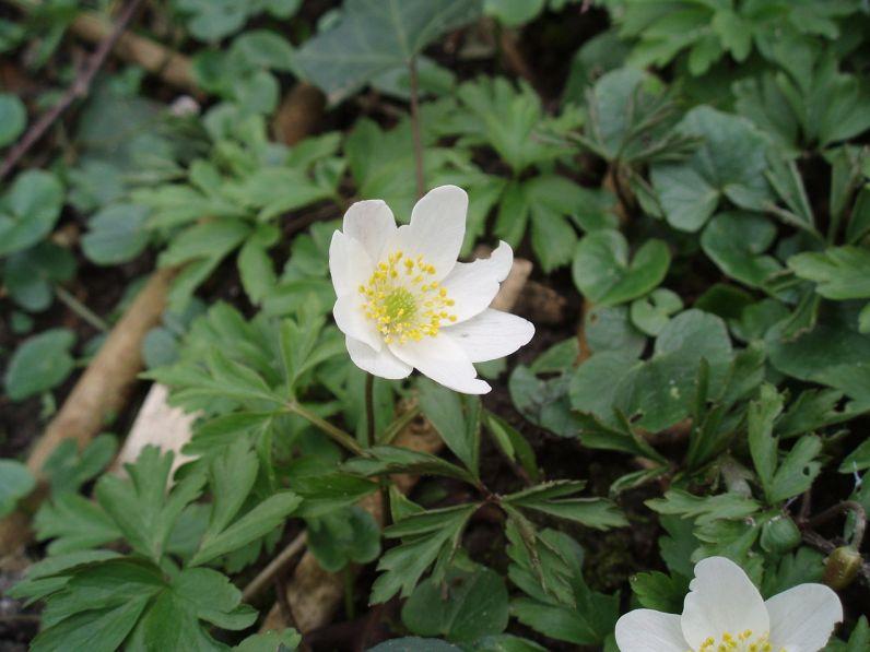 Anemone nemorosa (Bosanemoon)