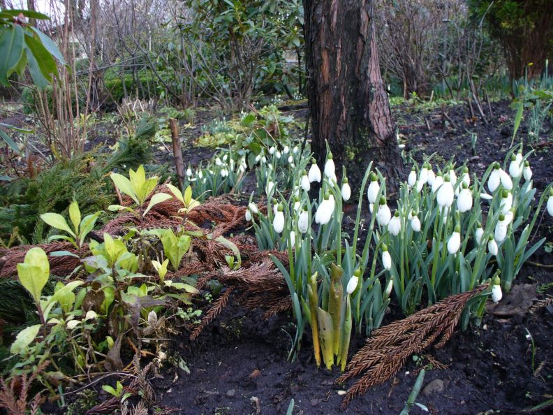 Beautiful snowdrops (Galanthus)
