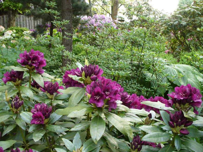 One of the many rododendrons.
